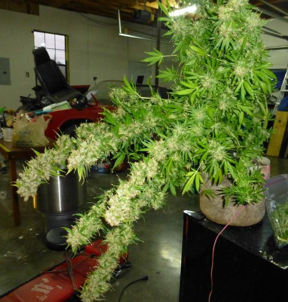 another white widow collapsing under her own weight