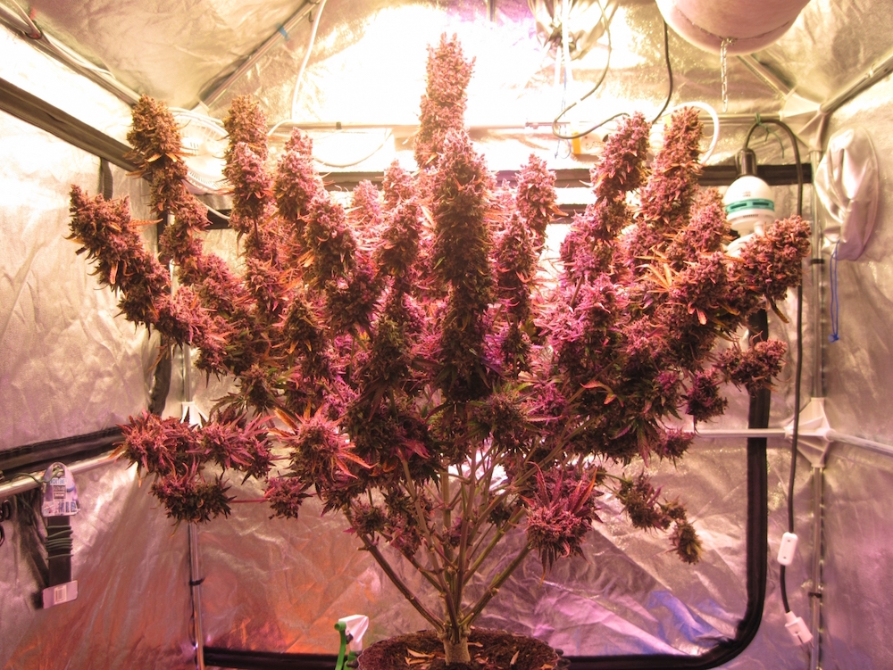 AutoBlackberry Kush with LED grow lights