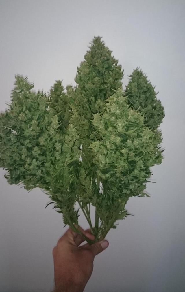 Grow Auto Duck cannabis