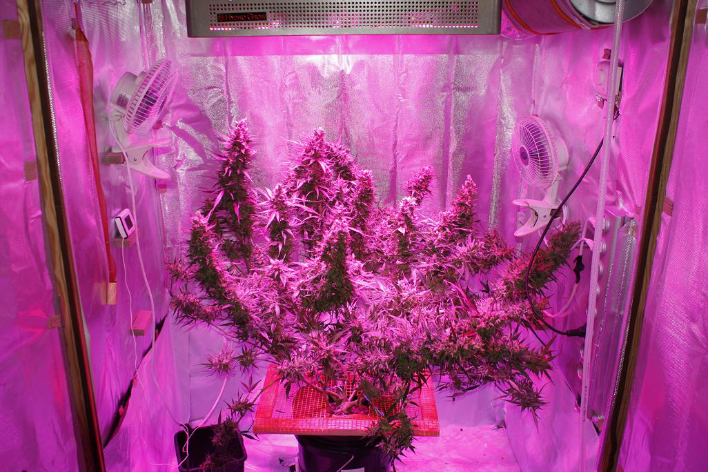 Blue AutoMazar Growing cannabis with LED
