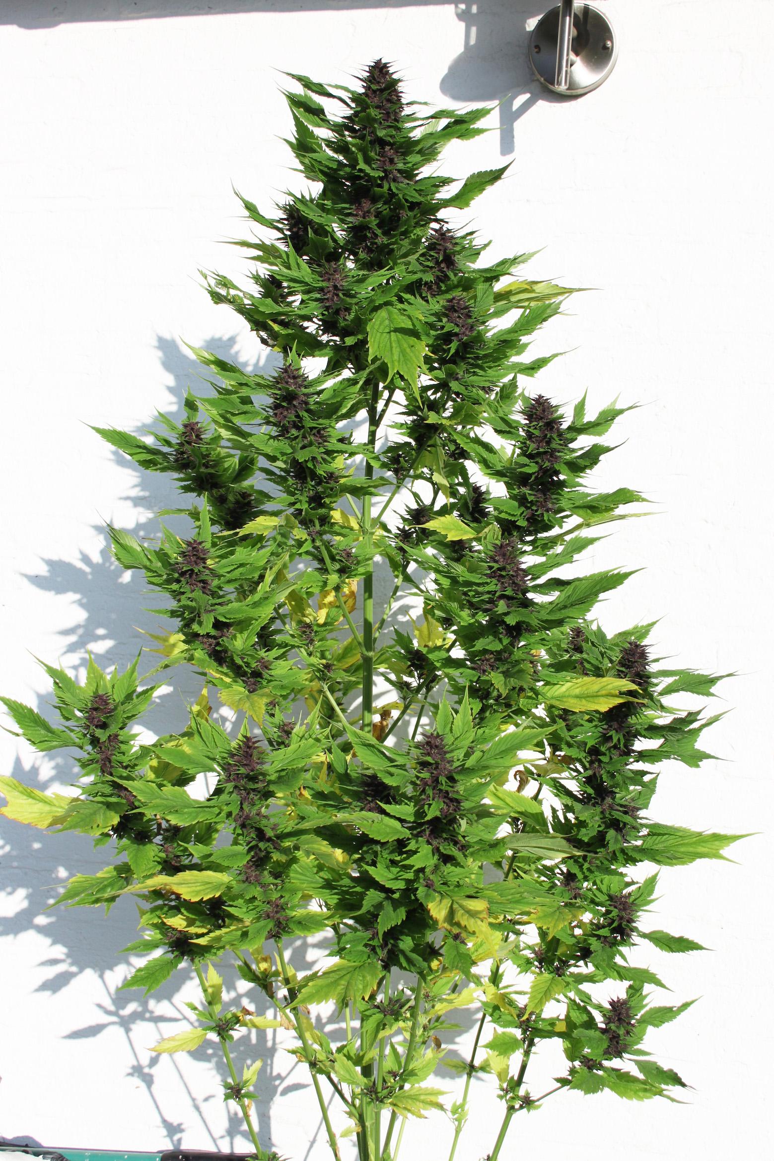 How to harvest cannabis frisian duck