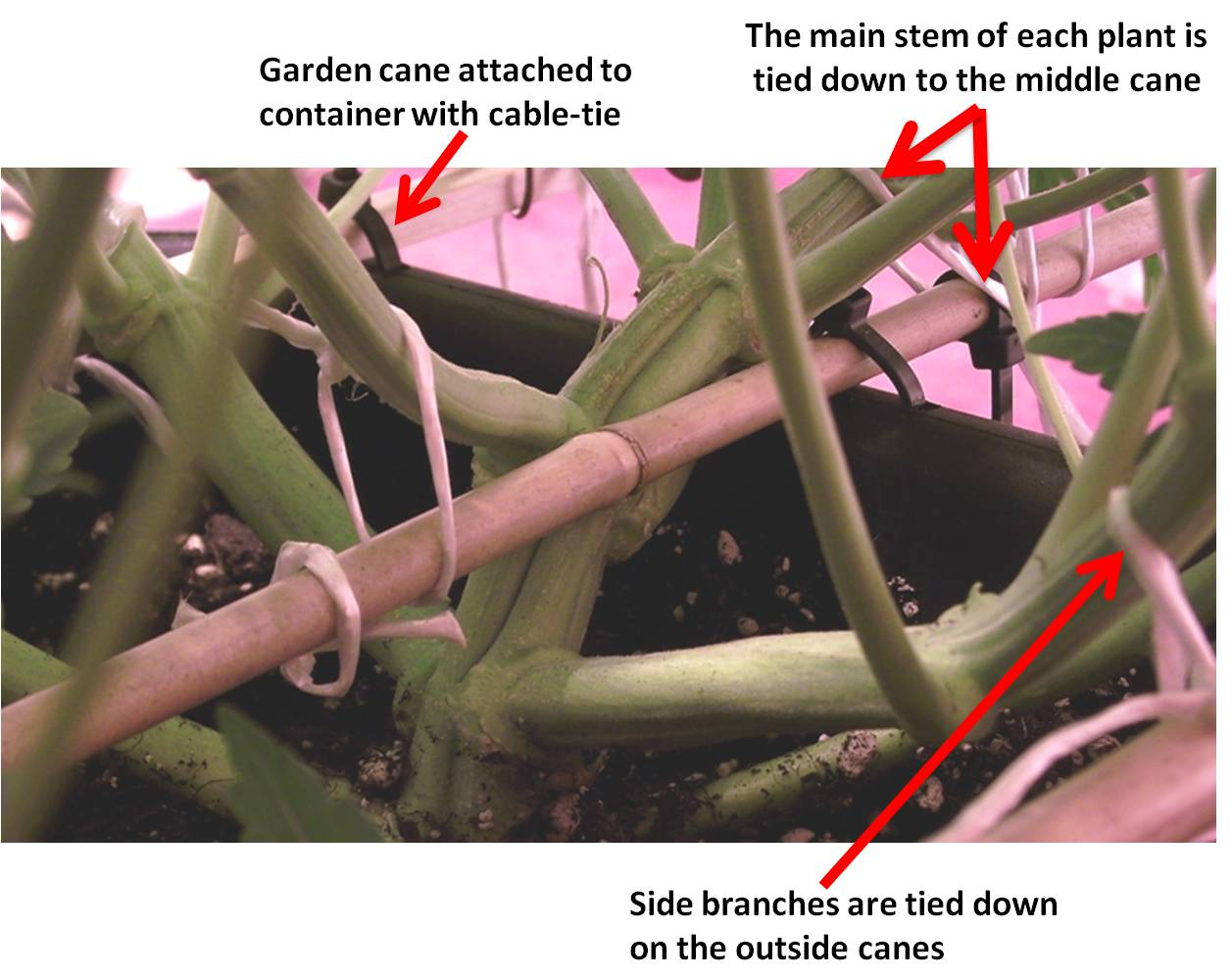 Low stress training of autoflowers with horizontal bamboo canes.