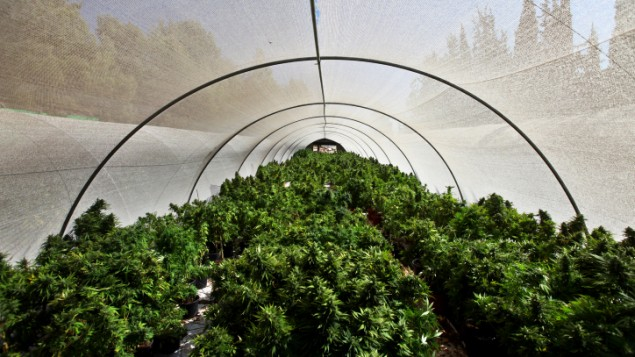 Easy ways to grow cannabis in a polytunnel