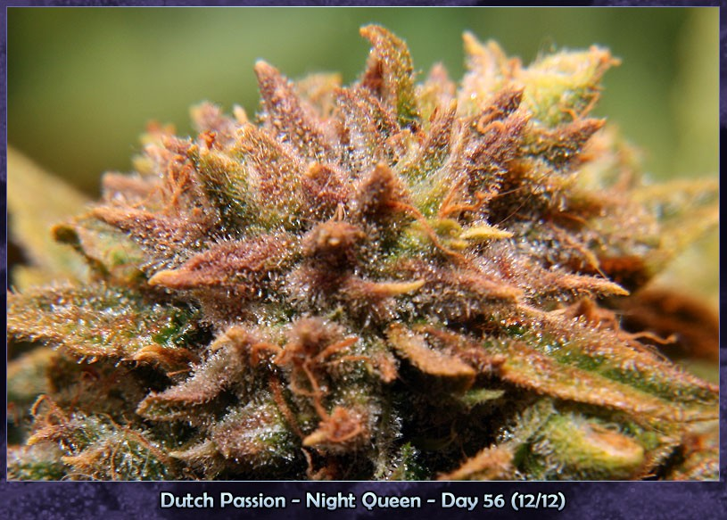 Night Queen Afghani indica at it's best