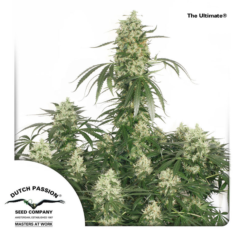 The Ultimate - Dutch Passion Cannabis Seeds