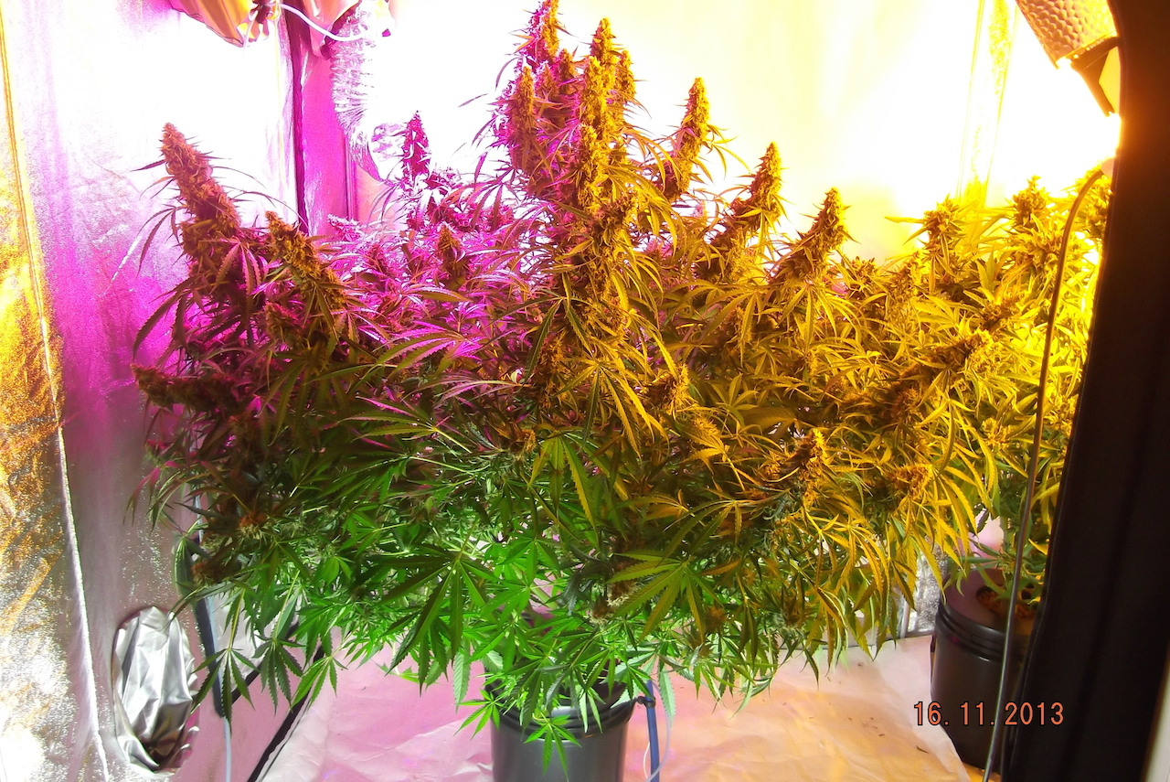 Grown under led, plasma and hps