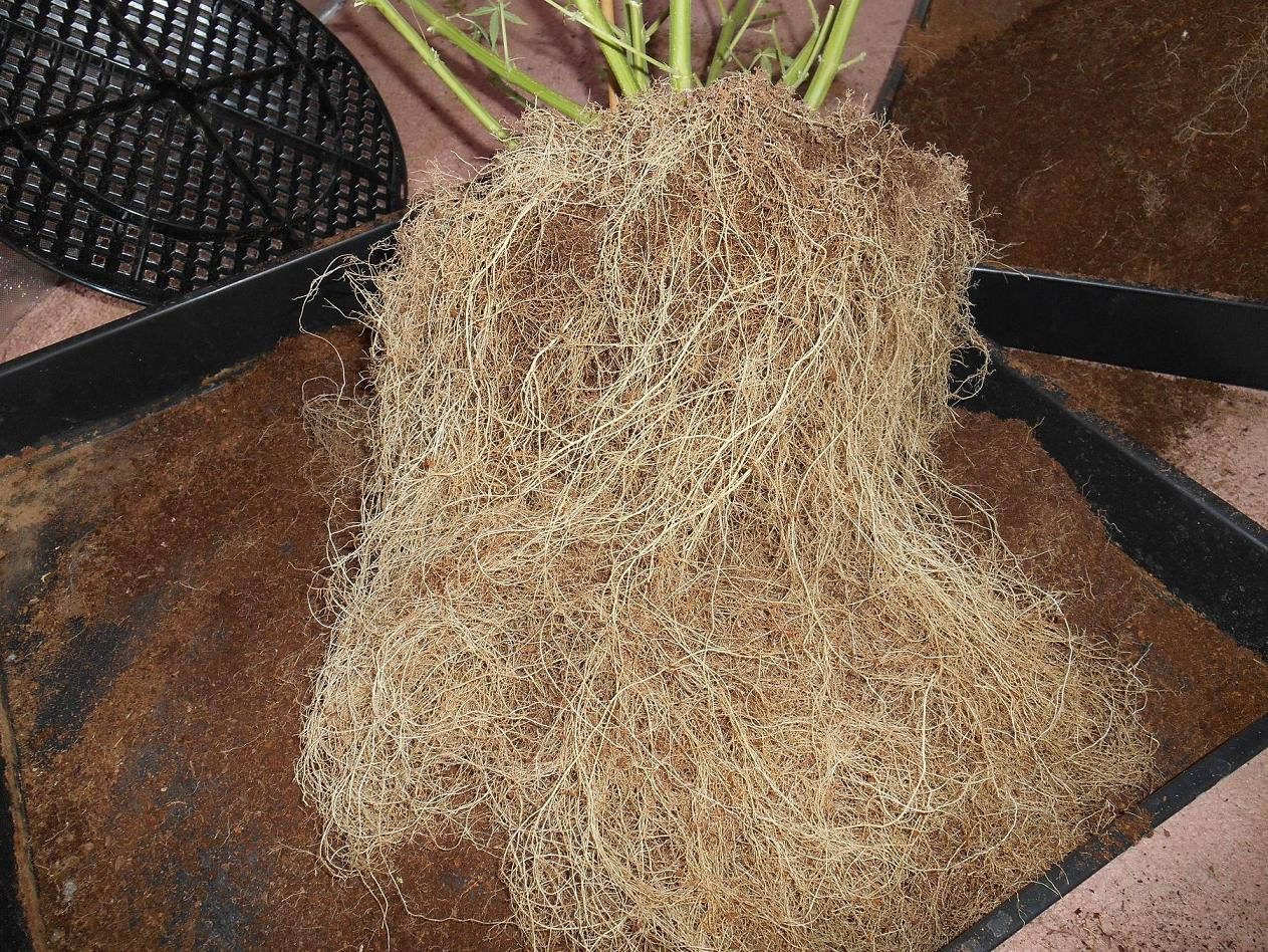 Massive coco-fibre root ball, looks like a DWC plant