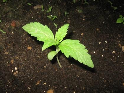 Legal Belgium TUP Cannabis Social Club