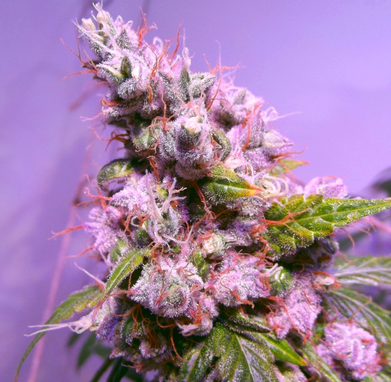 AutoEuforia grown under the Holographic Series 1 LED grow light by Tang