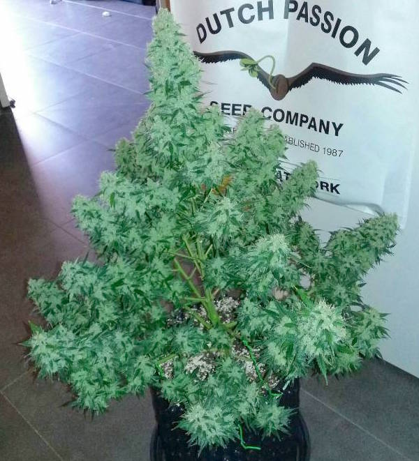 Auto Cinderella Jack Autoflowering cannabis seeds