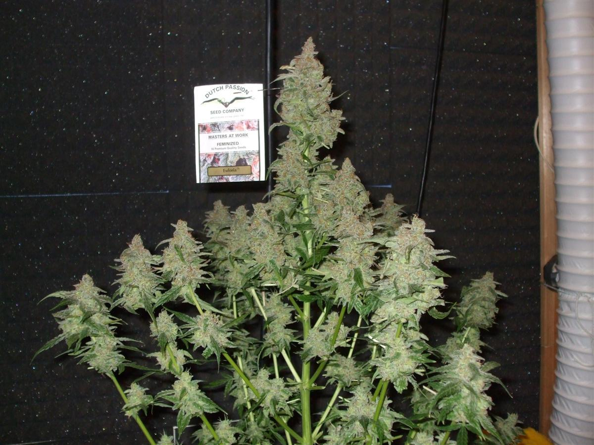 Auto Ultimate customer grow review Dutch Passion Blogs