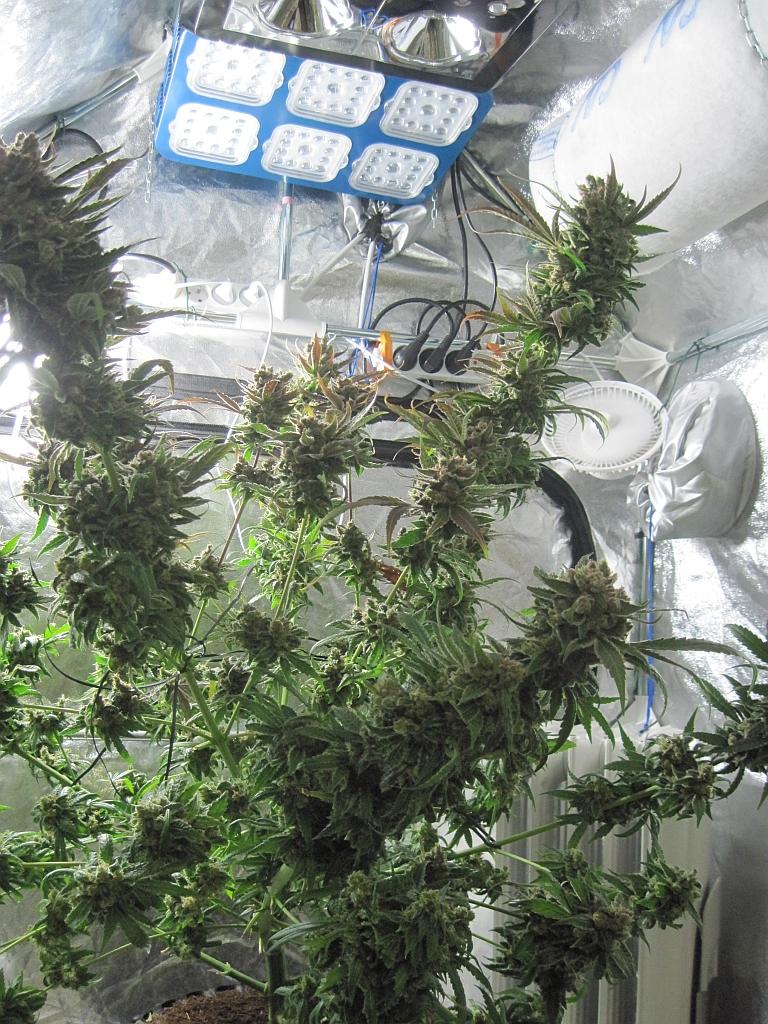 Masterkush home grown cannabis review