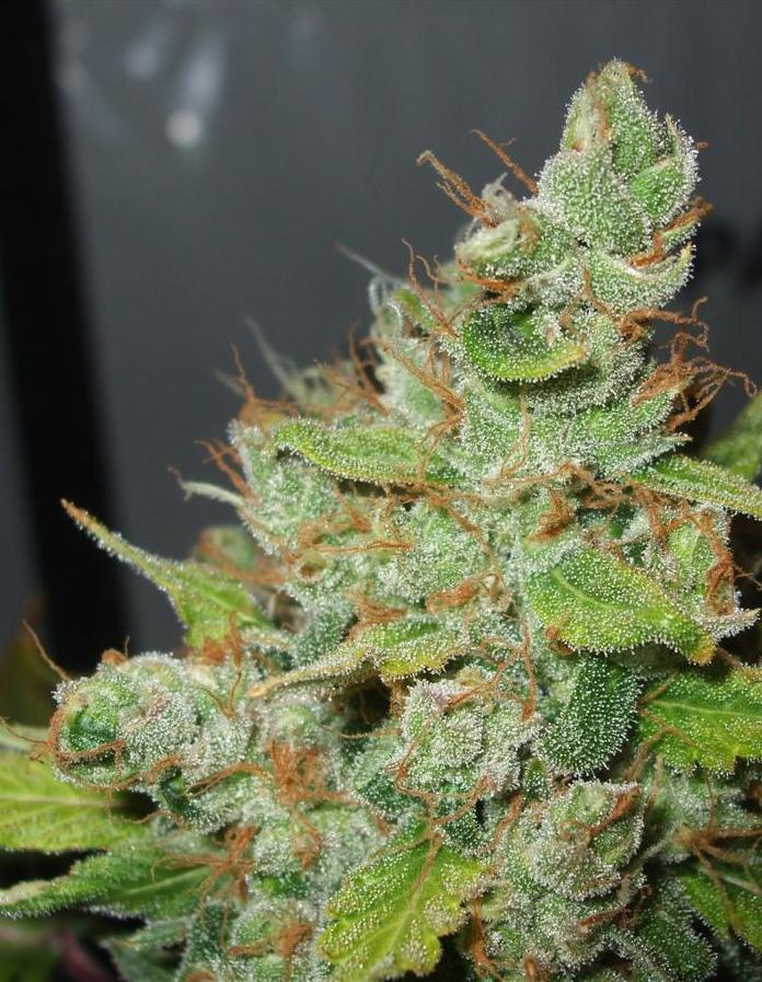 close up of a bud, frost!