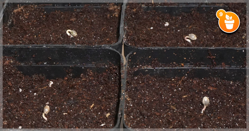 Cotton Pad Germination Method Step 9: Let them grow