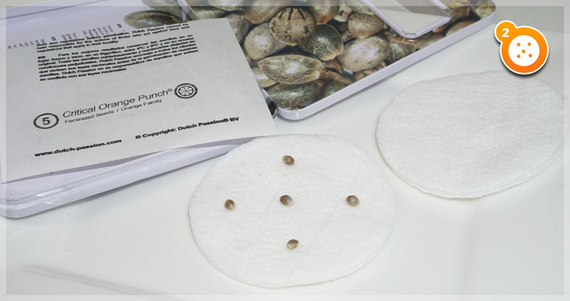 Cotton Pad Germination Method Step 2: Place the seeds on the cotton pads
