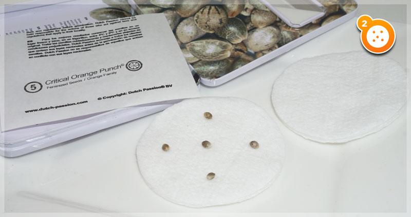 Schritt 2: Legen die Samen auf die Wattepads
