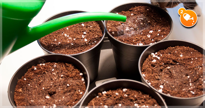 Soil Germination Method: Watering the soil