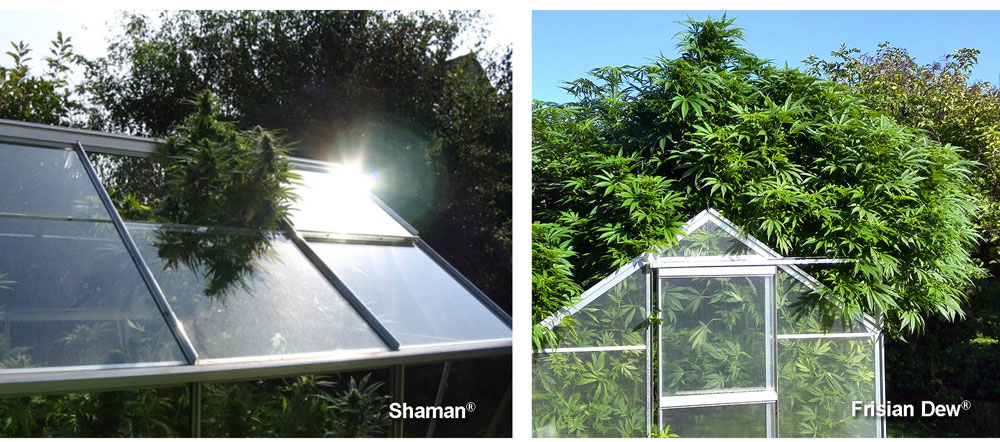 Greenhouse growing: Shaman and Frisian Dew