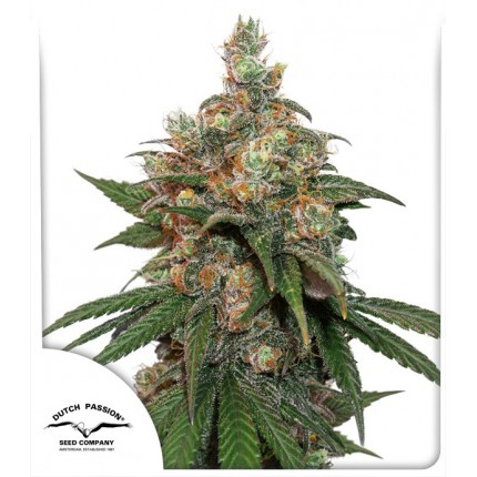 HiFi 4G feminised cannabis seeds
