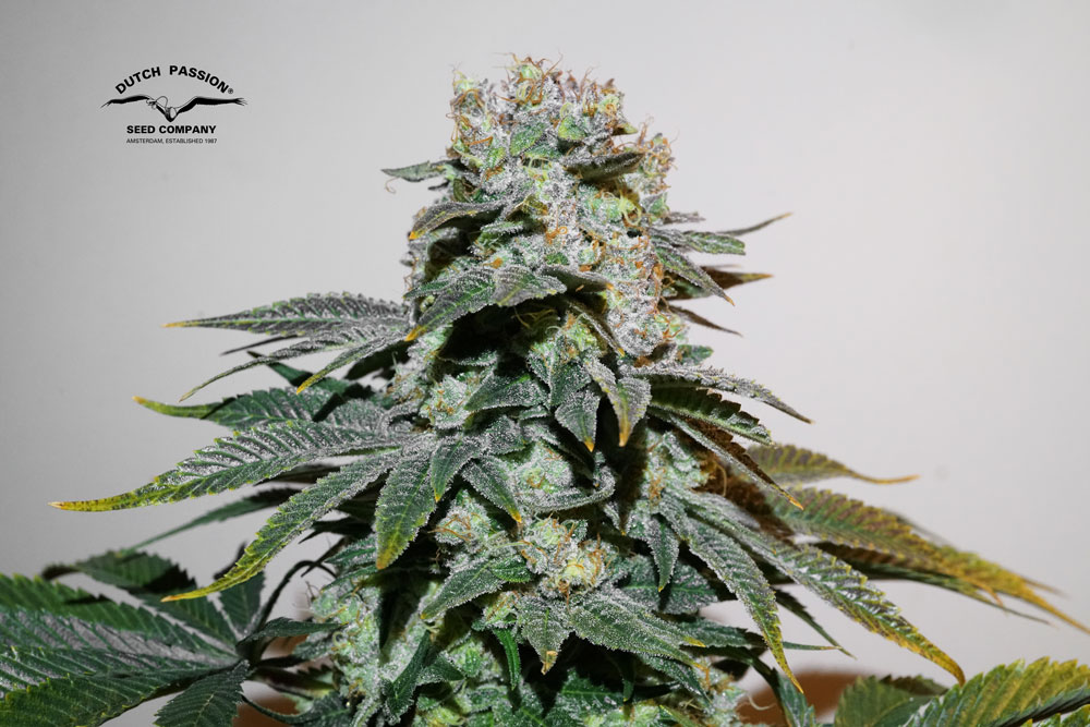 C-Vibez feminised seeds grow review by Antonio