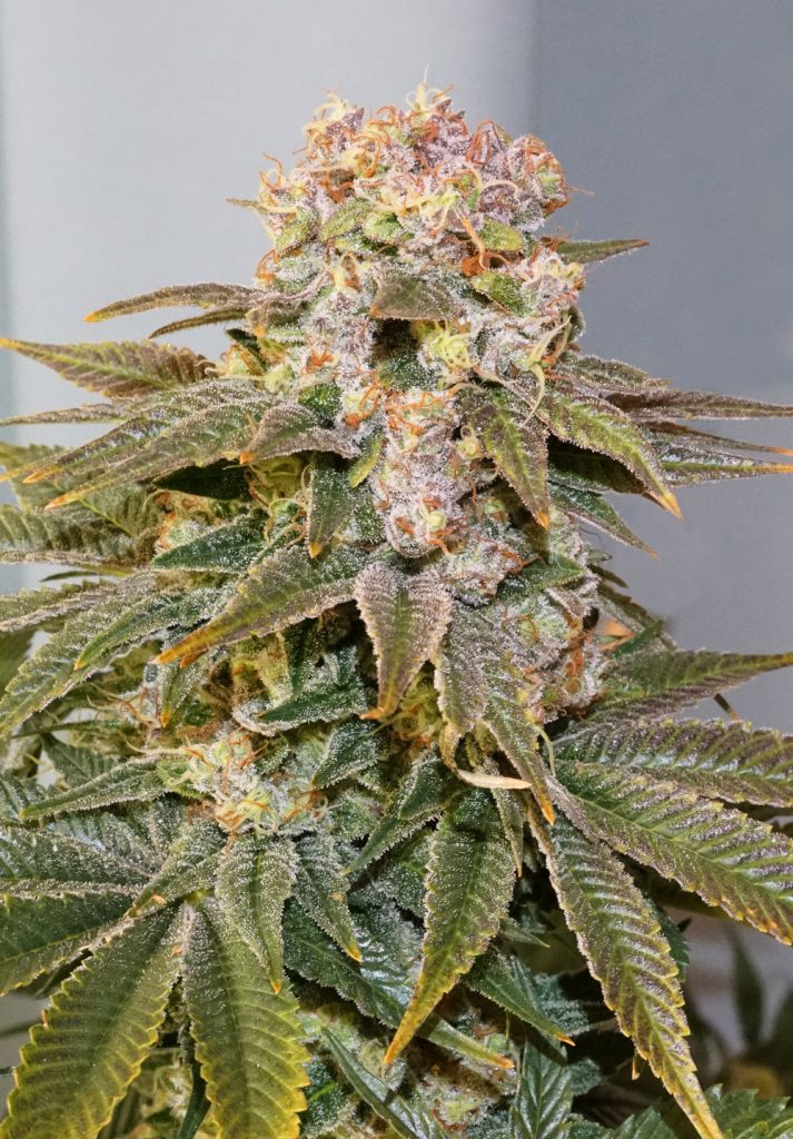 C-Vibez buds are covered in resin and have a beautiful sativa structure.