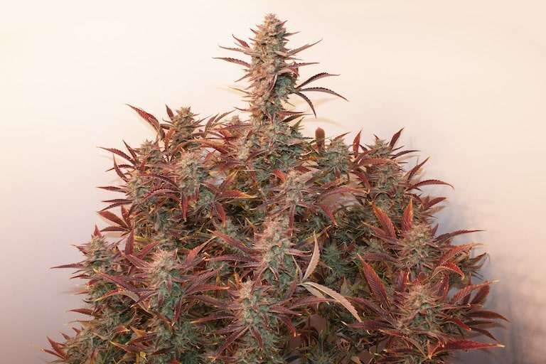 Dutch Passion's heaviest XXL autoflower seeds