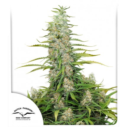 C-Vibez feminised cannabis seeds | Dutch Passion