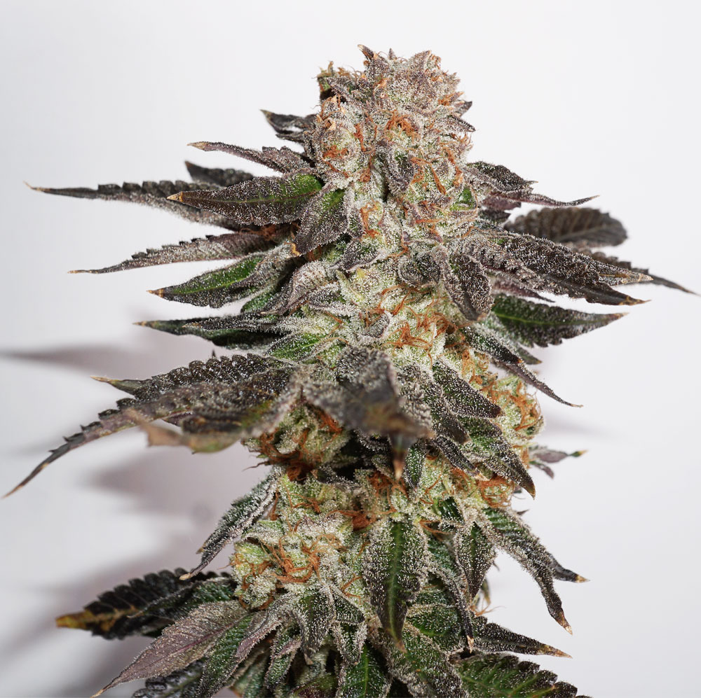 "Meringue frosty THC-rich bud grown with ""GHE General Organics"" nutrients."