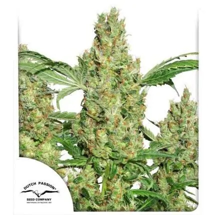 Power Plant Dutch Passion Cannabis Seeds