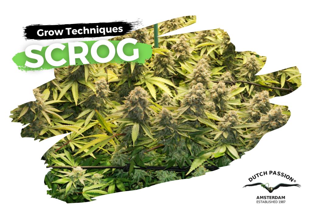 Scrogging cannabis guide
