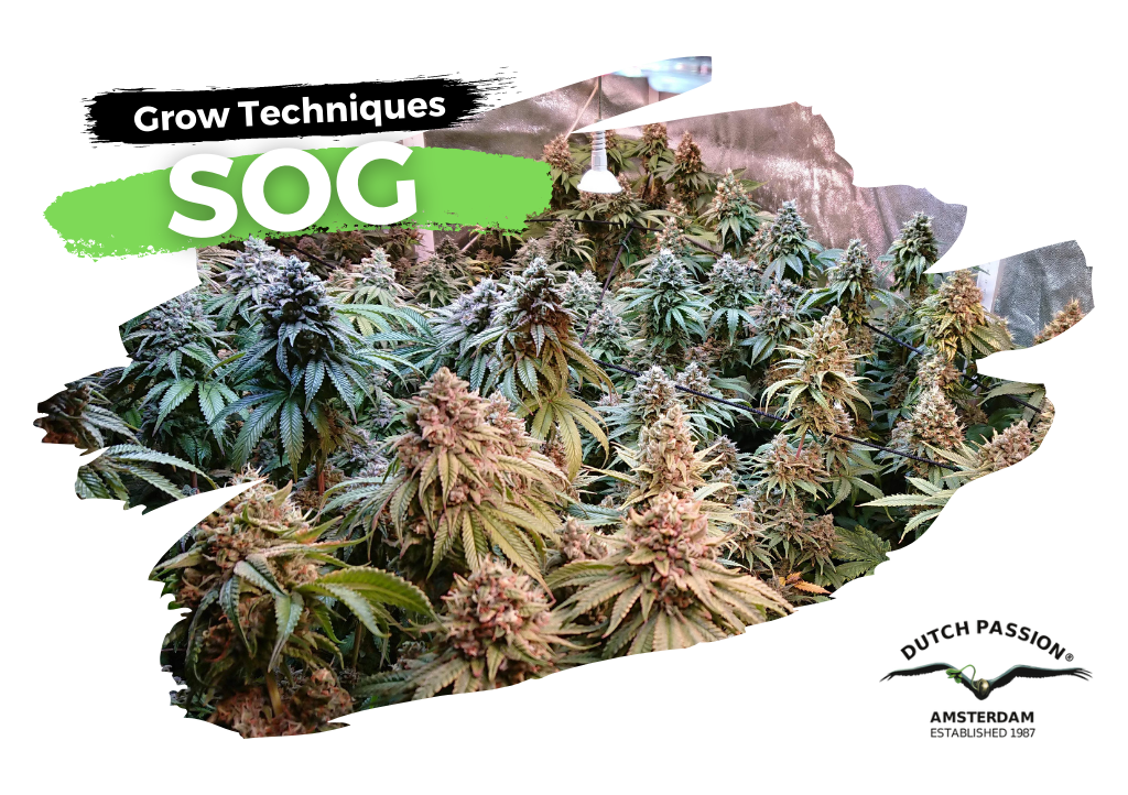 SOG Grow Guide