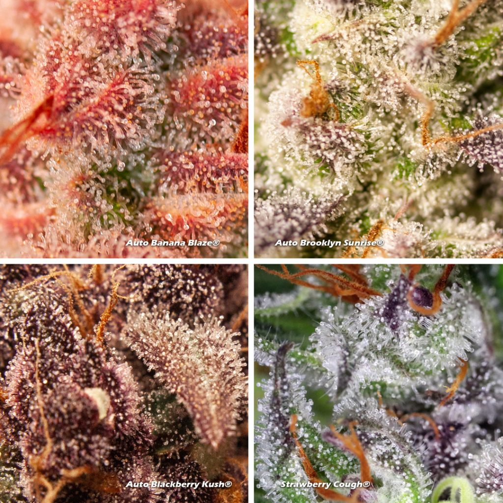 Four Dutch Passion cannabis trichomes ready for harvest