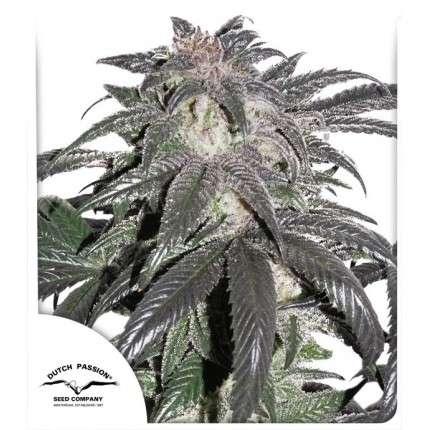 Bubba Island Kush feminised cannabis seeds