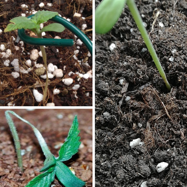 Damping off is most common in young seedlings and can be caused by overwatering your soil