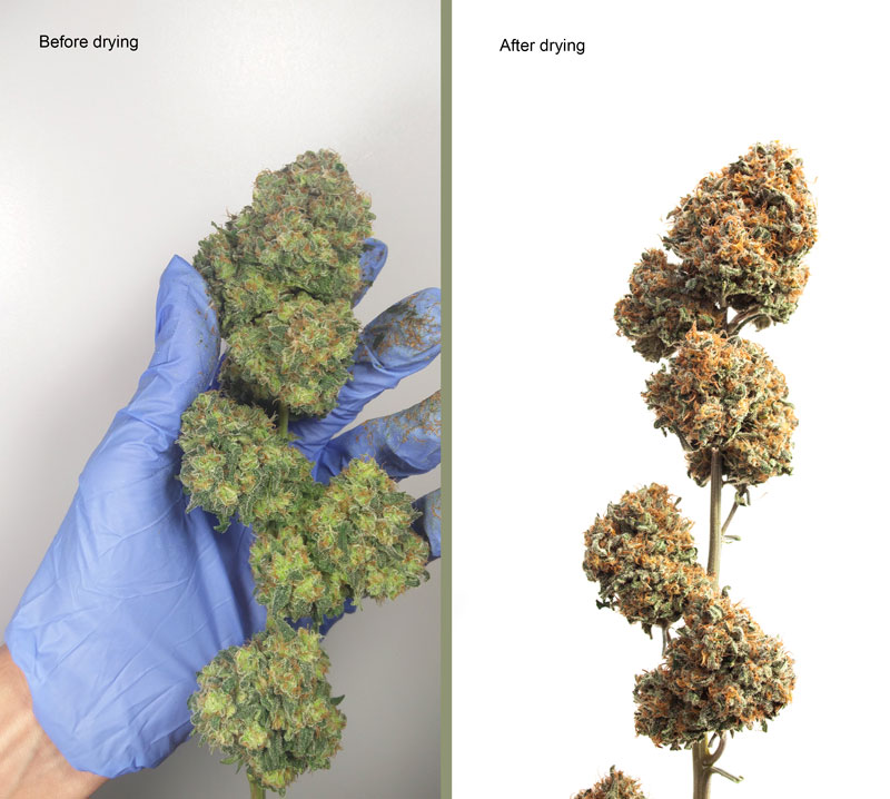 cannabis bud before and after drying