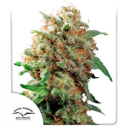 Mazar cannabis seeds by Dutch Passion