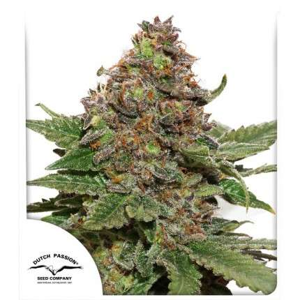 Strawberry Cough feminised cannabis seeds