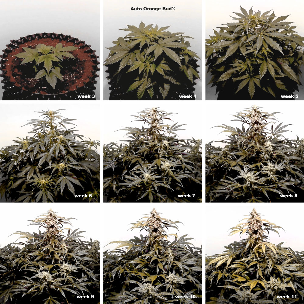 Auto Orange Bud grown with BAC Bloom, and BAC PK booster during flowering stage.