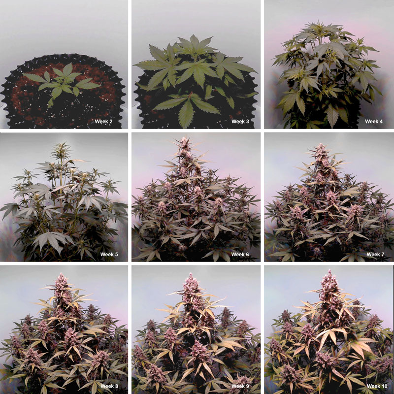 Auto Blackberry Kush week-by-week flowering stage plant pictures.