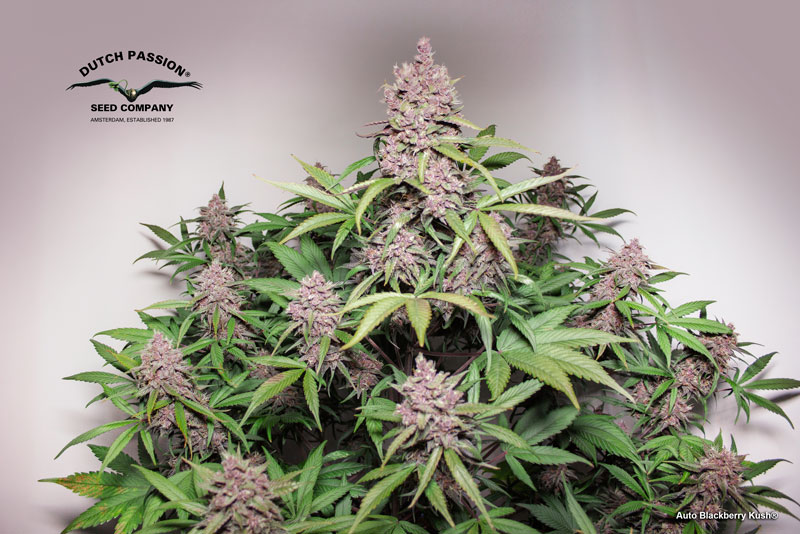 Auto Blackberry Kush grown in a tent with 200W LED in 30l air-pot