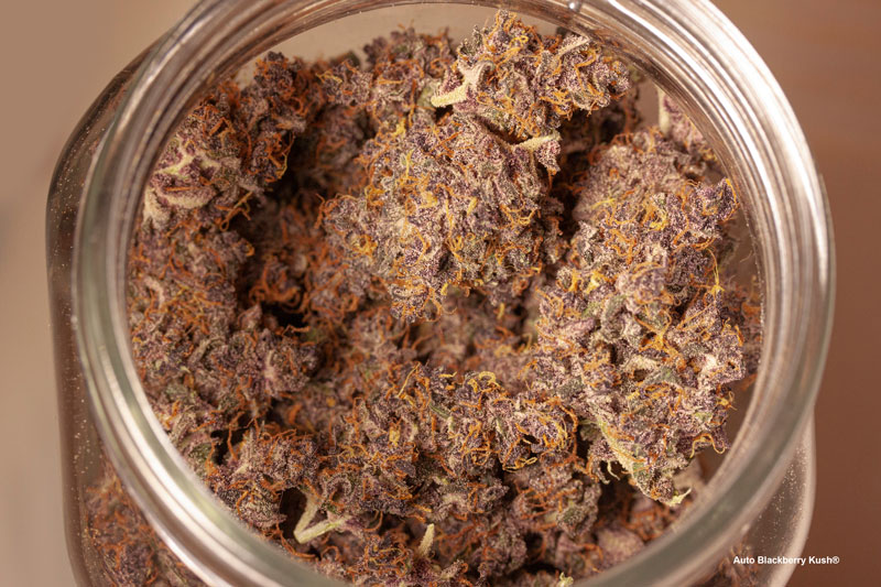 Auto Blackberry Kush buds curing in a jar