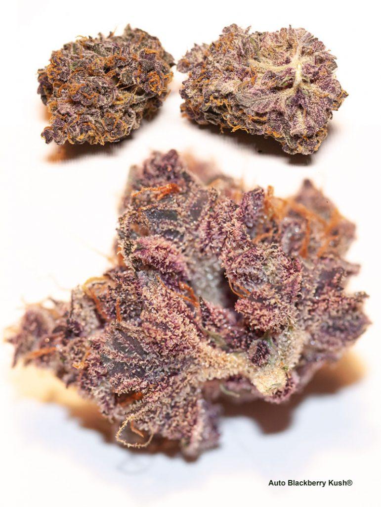 Purple cannabis buds of Auto Blackberry Kush