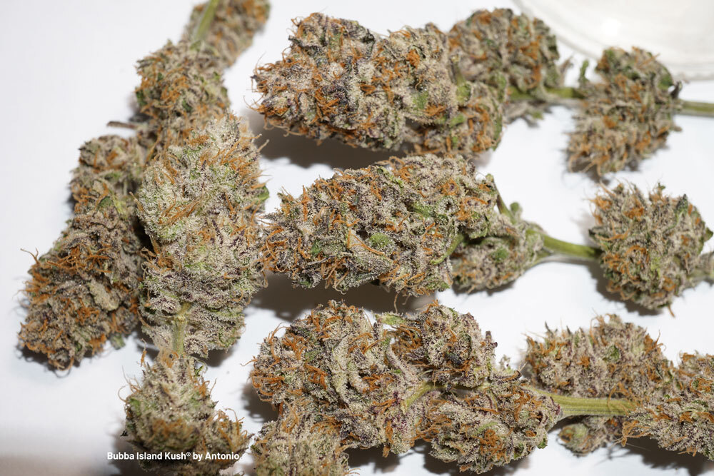 Bubba Island Kush high thc seeds cannabis dutch passion