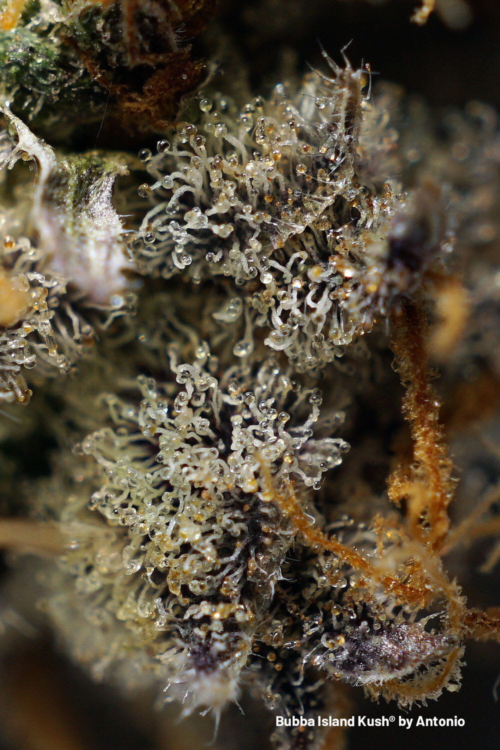Bubba Island Kush super frosty nugs with thick layers of cloudy/amber trichomes.