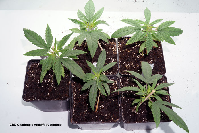 Five CBD Charlotte's Angel seedlings