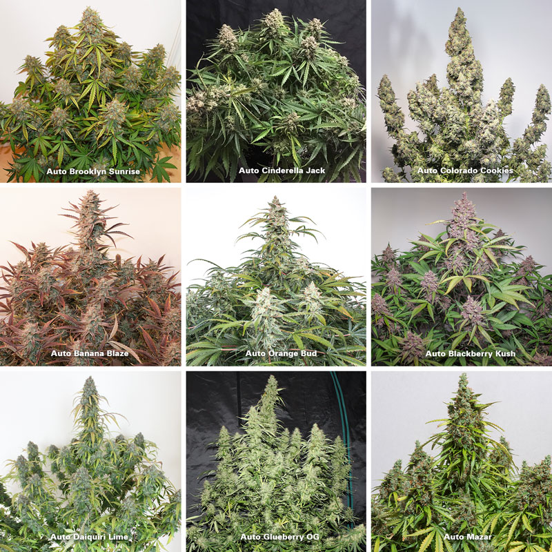 Dutch Passion autoflowering varieties in bloom stage