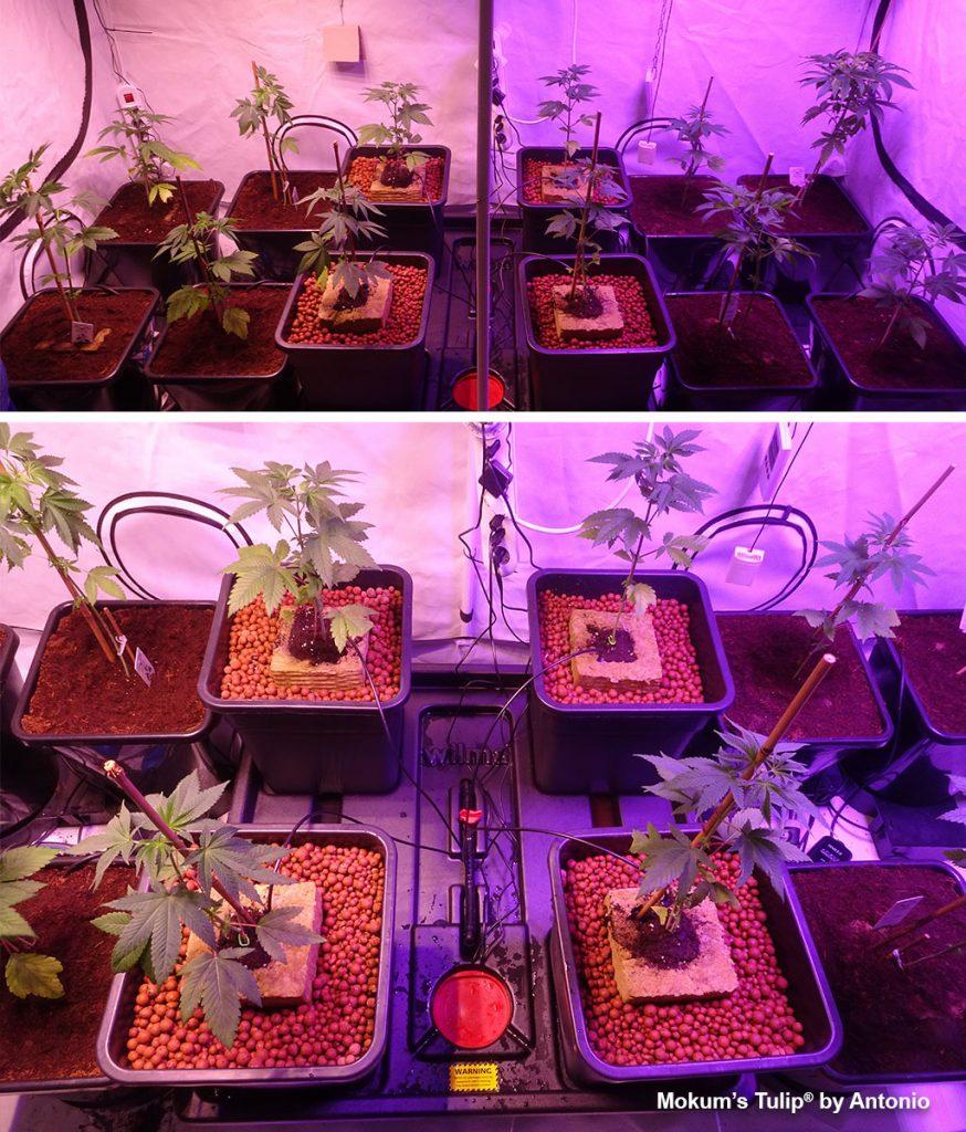Mokum's Tulip indoor grow in Autopots with LED lights