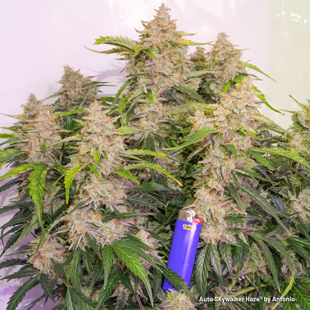 Auto Skywalker Haze at harvest day big buds lighter heavy flowers strong weed