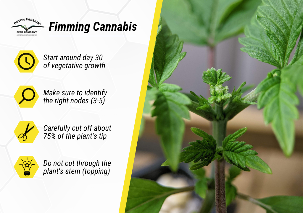 Basic tips for fimming cannabis