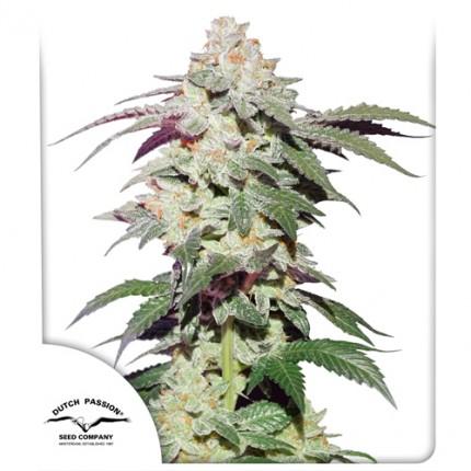 Skywalker Haze cannabis seeds by Dutch Passion